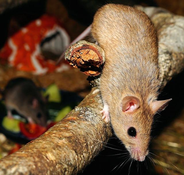 شركة مكافحة فئران بمكة