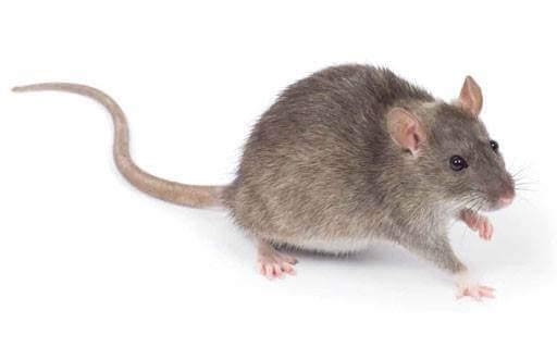 شركة مكافحة فئران بالمدينة المنورة