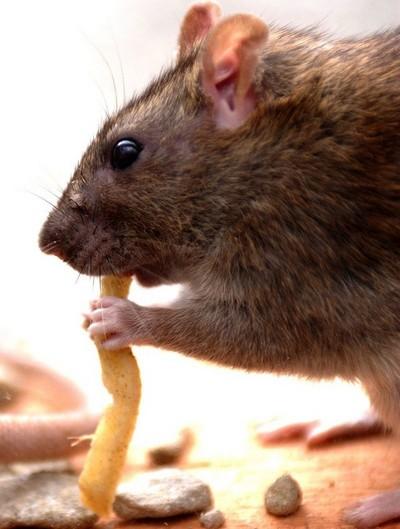 شركة مكافحة الفئران بالحائل