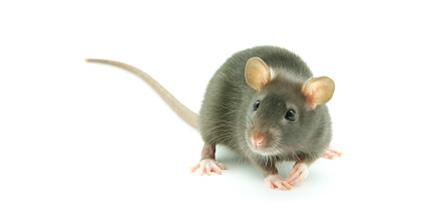 شركة مكافحة الفئران بجده