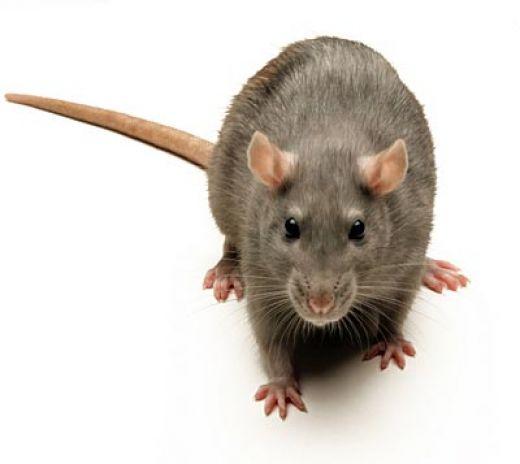 شركة مكافحة فئران بالطائف