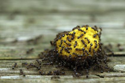 شركات مكافحة النمل الاسود بخميس مشيط