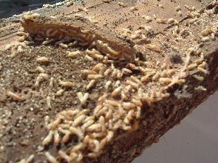 شركة مكافحة النمل الابيض بجده