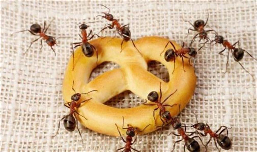 شركة مكافحة النمل الاسود بالقطيف