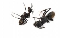 شركة مكافحة النمل الاسود بالطائف