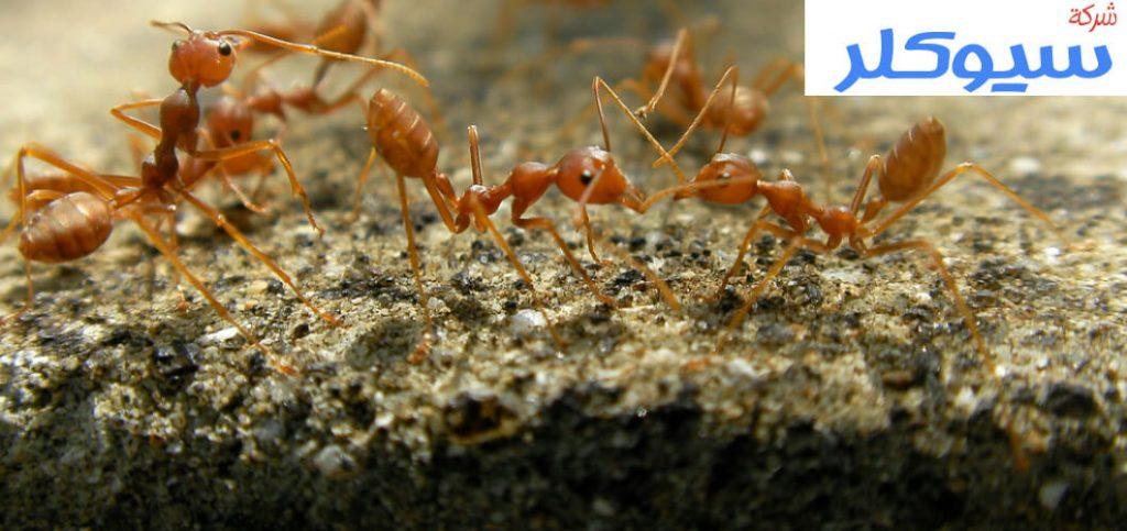 شركة مكافحة النمل الاسود بالدمام