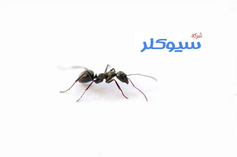 شركة مكافحة النمل الاسود بمكة