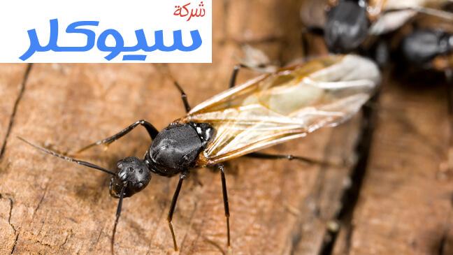 شركة مكافحة النمل الاسود بالاحساء