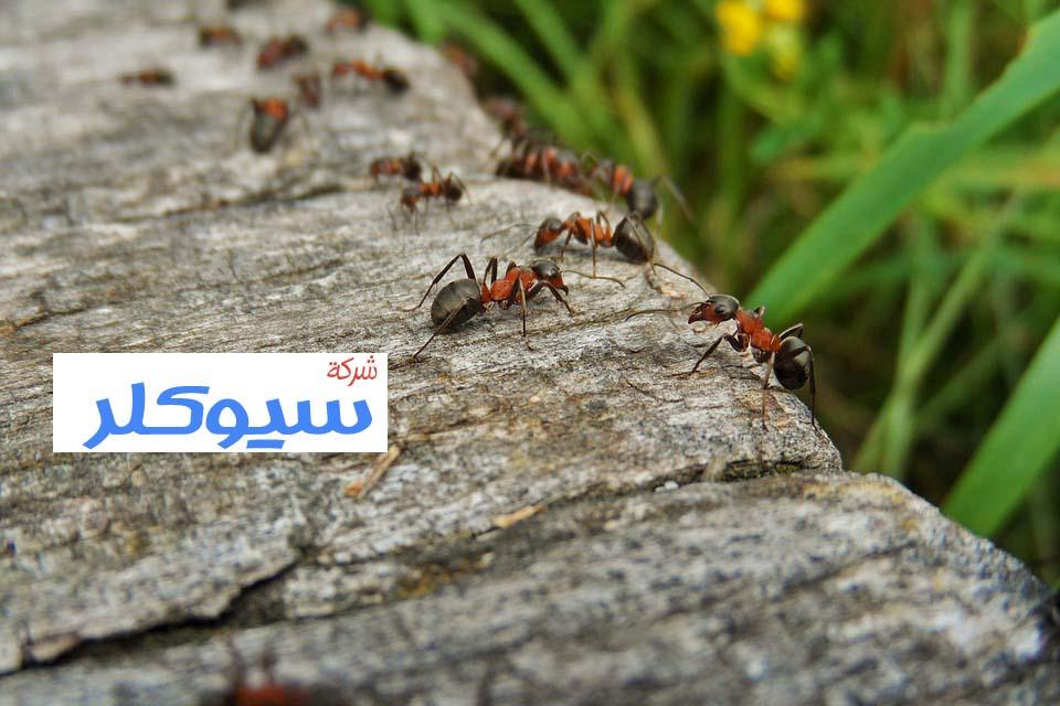شركة مكافحة النمل الاسود بخميس مشيط